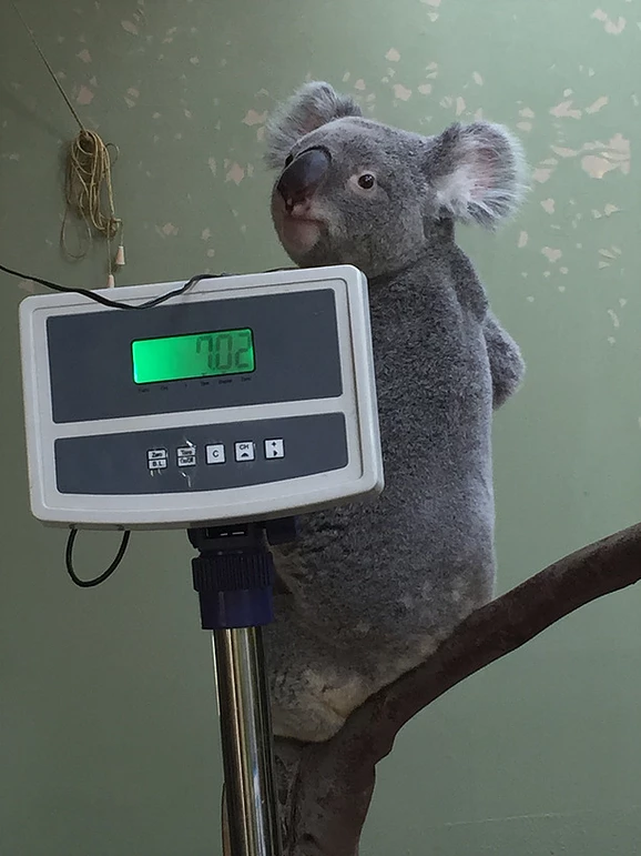koala-meres