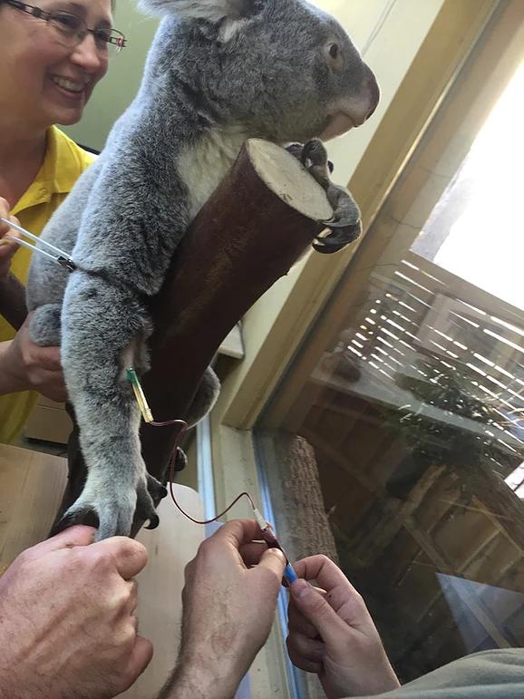koala-szuri